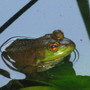 froggy enjoying the pond