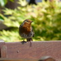 The_ironed_robin_