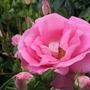 Rose.'Cliff Richard'