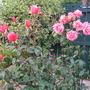 Roses,'Fragrant Delight'