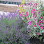 Lychnis and Lavender...