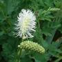 Sanguisorba albiflora (Sanguisorba albiflora)