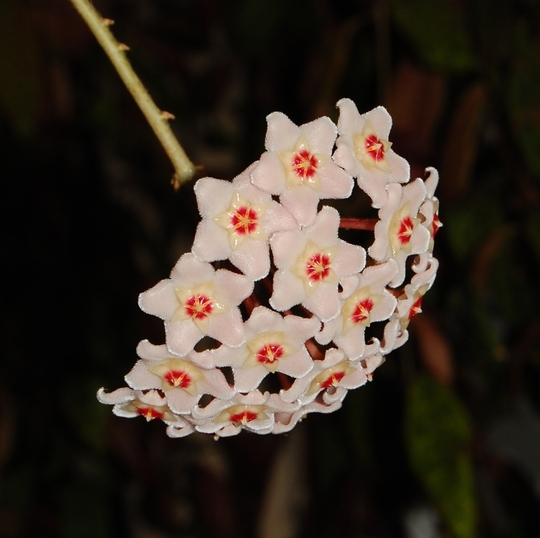 Hoya (Hoya carnosa (Honey Plant))