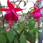 Fuchsia &#x27;Champion&#x27;