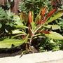 P6250003.jpg (Orchid cactus or Epiphyllum)