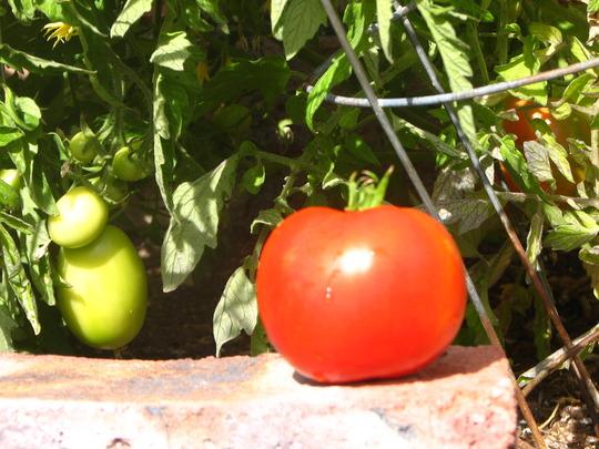 Arizona tomato