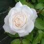 iceburge rose