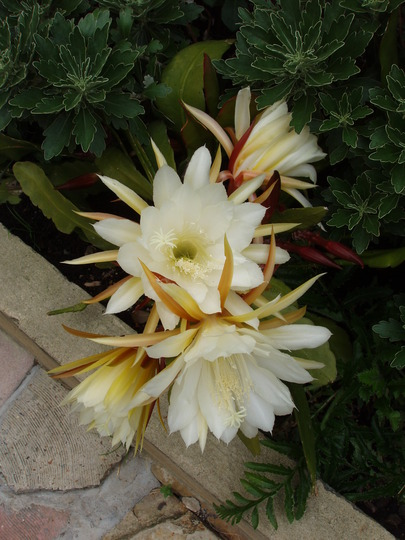 A garden flower photo (Orchid cactus or Epiphyllum)