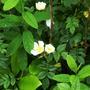 14.7.12_wild_white_rose._p1040379_edited