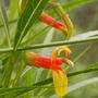 Lobelia laxiflora (Lobelia laxiflora (Sierra Madre Lobelia))