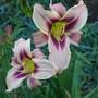 Daylily cross - Little Love Bug X Unk