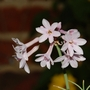 Tulbaghia violacea (Tulbaghia violacea (Tulbaghia))