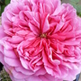 Rose...Princess Alexandra of Kent (Rosa 'Princess Alexandra of Kent')