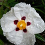 Cistus (Rock rose) 'Alan Fradd' (Cistus)