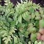 Cyrtomium fortunei...japanese holly fern (Cyrtomium fortunei)