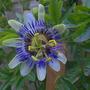 Passion_flower