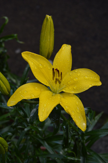 Lily, yellow (Lilium)