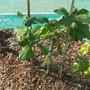 Mandarin (Citrus reticulata (Satsuma))