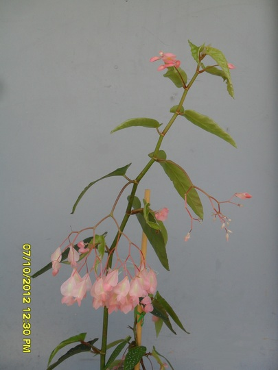 Angel Wing Cane Begonia