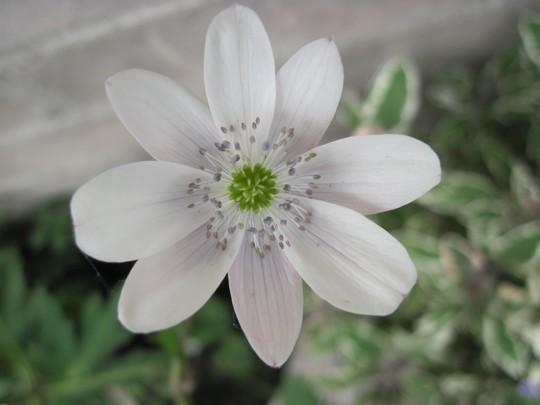 Anemone leveillei (anemone leveillei)