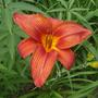 Day Lily - Unknown