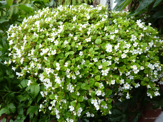 Bacopa hanging basket for Jane