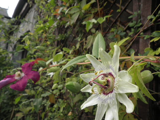 White Lightening - outdoors (Passiflora caerulea (Passion flower))