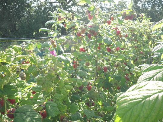 Raspberry anyone?