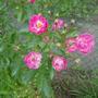 Rose - Martha's Vinyard