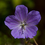 One of my favourite Ladies children (Geranium pratense (Meadow cranesbill))