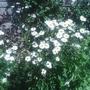 oxo eye daisys