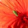 Gprinkhaan_op_hibiscus_bloem_004