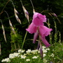Dierama   .......   Angels Fishing rod ... (Dierama)