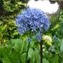 Summertime Blues! (Allium caeruleum)