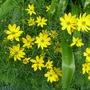 Coreopsis_grandiflora_2012