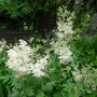 Filipendula_vulgaris_devon_cream_2012