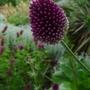 Allium_sphaerocephalum_2012