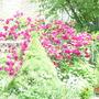 Roses_june_2006_001