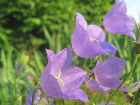 bellflower  campanula (carpathian bellflower campanula carpatica)