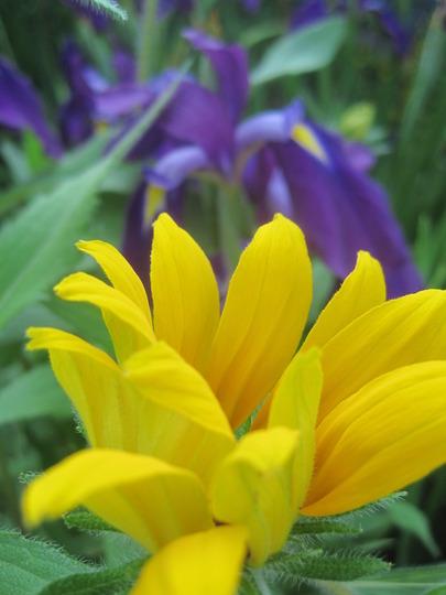 Complementary colours (Rudbeckia fulgida (Black-eyed Susan))