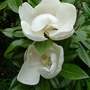 Magnolia grandiflora &#x27;Exmouth&#x27; - 2012 (Magnolia grandiflora &#x27;Exmouth&#x27;)