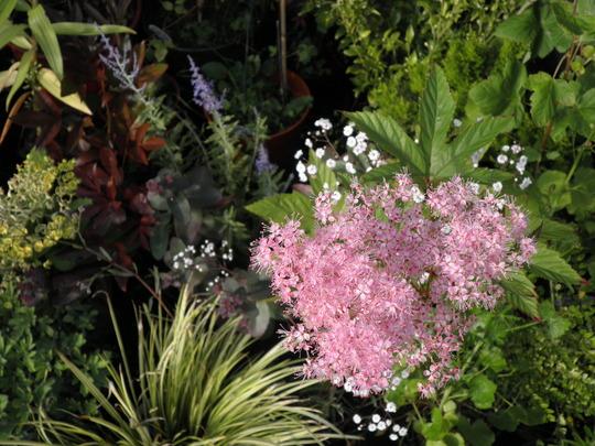 Filipendula purpurea/Spiraea x bumalda 'Anthony Waterer' thingymadoofers
