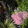Filipendula purpurea/Spiraea x bumalda 'Anthony Waterer' thingymadoofers