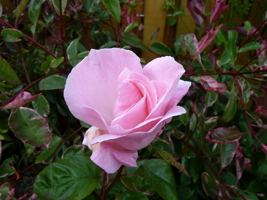 Rosa 'Queen Elizabeth' First flower