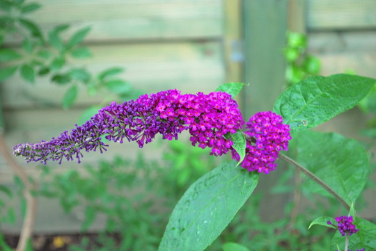 Buddleja Royal Red.... (Buddleja davidii Royal Red.)