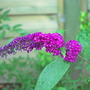 Buddleja davidii Royal Red.