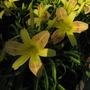 Flower_daylily_rdh_20100617_029