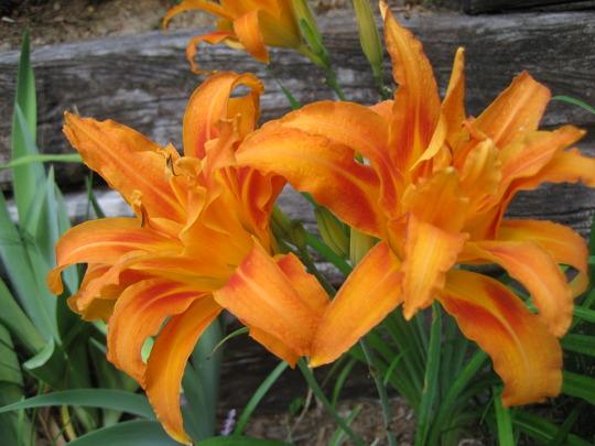 Kwanzaa Daylilies (Hemerocallis fulva 'Flore Pleno')