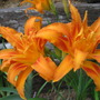 Flower_daylily_kwanzaa_rdh_20100627_024