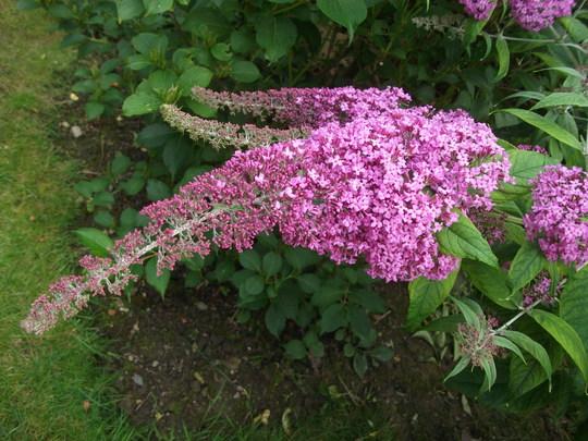 Buddleja davidii 'Pink delight' (Buddleja davidii (Butterfly bush))
